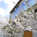 thum-sakura